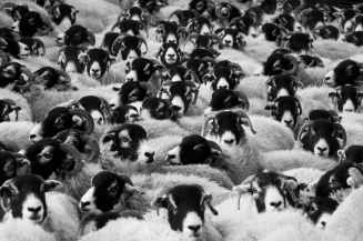 sheep-agriculture-animals-countryside-87081.jpeg