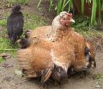 Sheltering hen